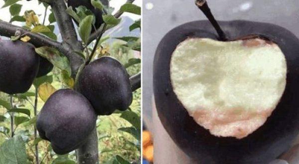 Photo of تفاح الماس الأسود : ثمرة نادرة لم تسمع عنها من قبل شاهد بالصور